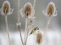 Goldfinch on teasel 2