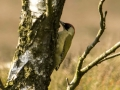 Green Woodpecker ( Picus viridis ) 2